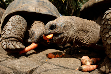 Aldabra giant tortoises eat carrots at the La Vanille Nature Park in Riviere des Anguilles
