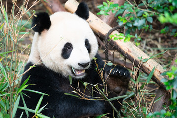 Portait of a Giant Panda eating bamboo leaves with mouth open showing his tooth in Chengdu China