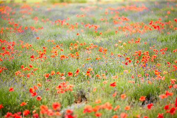 Beautiful red poppy and purple flower field in Provance sunny day
