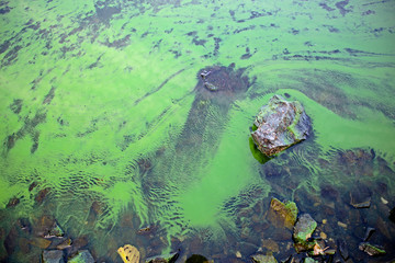 Wall Mural - Blooming blue-green algae (Cyanobacteria). Water pollution of rivers and lakes with harmful algal blooms. It is world environmental problem. Ecology concept of polluted nature.