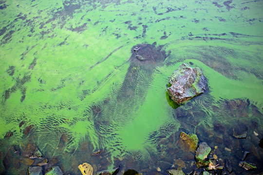 Blooming blue-green algae (Cyanobacteria). Water pollution of rivers and lakes with harmful algal blooms. It is world environmental problem. Ecology concept of polluted nature.