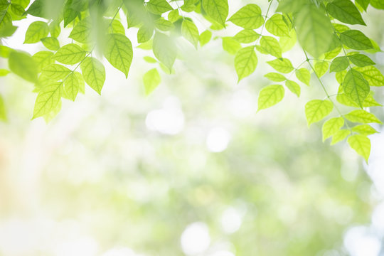 Close up of nature view green Millingtonia hortensis leaf on blurred greenery background with bokeh and copy space using as background natural plants landscape, ecology wallpaper concept.