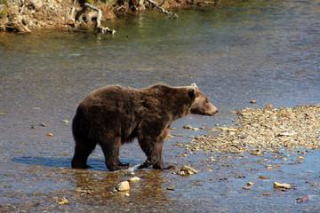 Grizzlybär-Alaska