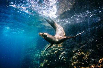Galapagos sea lion swimming undersea