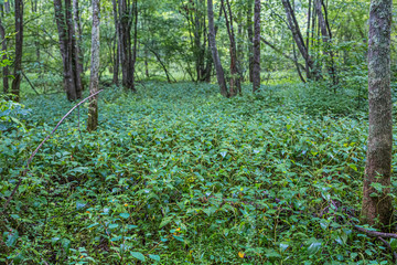 Lush Undergrowth and Trees in a Wetland Forest