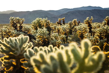 View of Cholla Cactus Garden during sunset