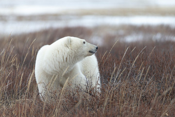In de dag Ijsbeer Polar bear in Hudson Bay area of Canada