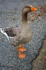 View of a grey domestic goose with orange beak on the street in Chestertown, Maryland