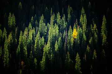 Scenic view of pine trees in San Juan National Forest