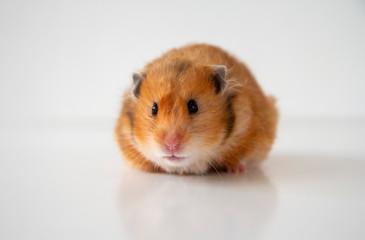 Studio portrait of a orange syrian hamster on a white background