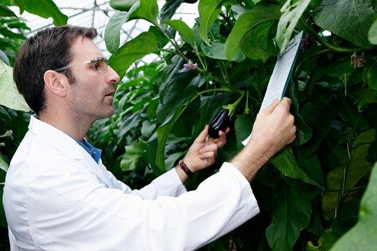 Germany, Bavaria, Munich, Scientist in greenhouse examining aubergine plants