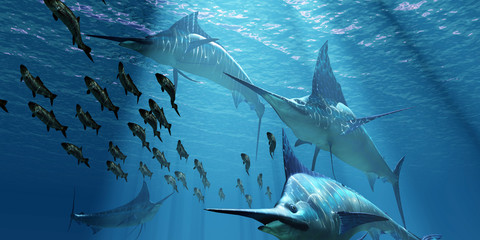 Blue Marlin Hunting - A pack of Indo-Pacific Blue Marlin predatory fish hunt a school of Pacific Herring fish.