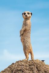 Meerkat on look-out