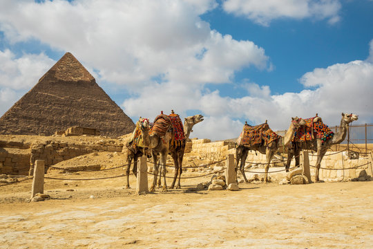 Four camels in an enclosure by a pyramid at Giza