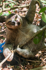 Three toed brown-throated sloth on the ground in the Atlantic forest - Itamaraca island, Pernambuco state, Brazil