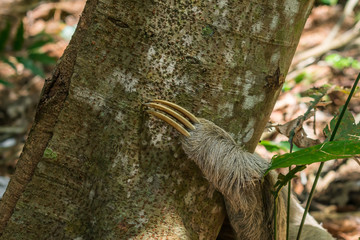 Close up of the claw of a sloth on a tree in the Atlantic forest - Itamaraca island, Pernambuco state, Brazil
