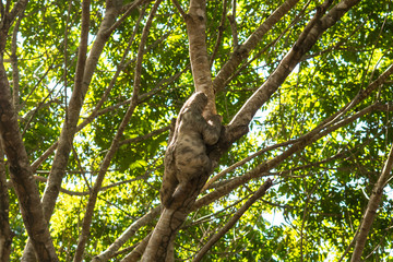 Three toed brown-throated sloth climbing a tree in the Atlantic forest - Itamaraca island, Pernambuco state, Brazil