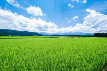 夏の水田1 Fotoväggar
