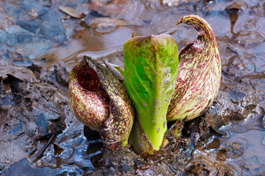 Eastern skunk cabbage (Symplocarpus foetidus). Known as Swamp cabbage, Clumpfoot cabbage, Meadow cabbage, Foetid pothos and Polecat weed also.