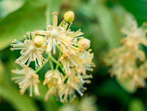 Linden blossom(Tilia cordata) - a closer look at inflorescence