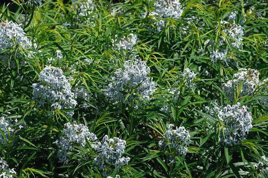 Hubricht's bluestar (Amsonia hubrichtii)