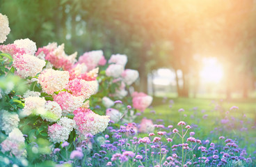 Aluminium Prints Hydrangea beautiful flower bed with hydrangeas in summer garden. blooming flower bed on sunny spring summer day. hydrangea bush with white and pink blossoms. elegant floral landscape background. shallow depth