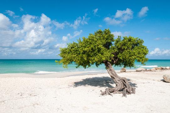 The iconic divi divi tree on the white sand of Eagle Beach at the Caribbean island Aruba.
