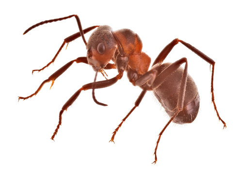 forest brown large ant side view