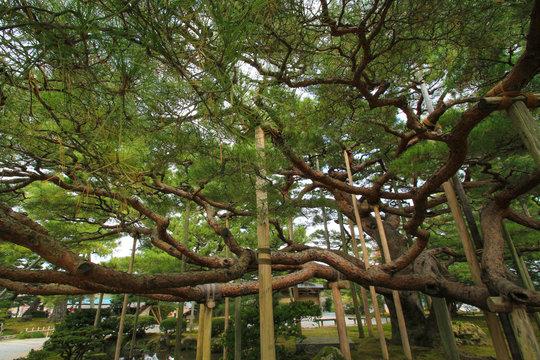 兼六園 松の木 Kenrokuen Garden pine tree 石川県金沢市 Isikawaken Kanazawa