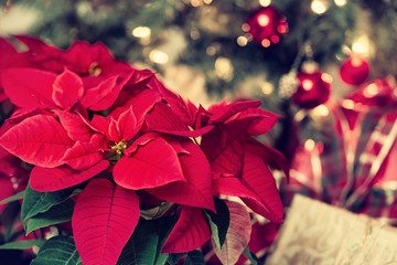 Beautiful red Poinsettia flower, Christmas Star, against festive holiday decoration background