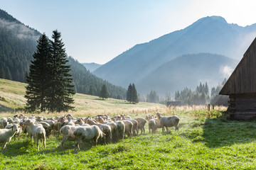 Sheep grazing on Meadow at Early Morning in Tatras Mountains Chocholowska Valley,Poland