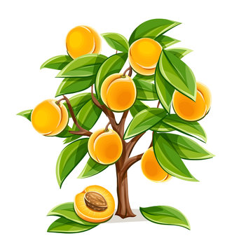 Apricot or peach tree with ripe fruits and green leaves. Plant from agriculture garden with fruit. Isolated on white background. Simple. Eps10 vector illustration.
