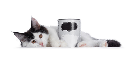 Wall Mural - Handsome black and white Maine Coon cat kitten, laying sode ways behind behind can of paint. Looking at camera with brown eyes. Isolated on white background.