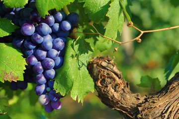 Fototapeta Grappe de raisin noir sur un pied de vigne, entourée de feuilles vertes