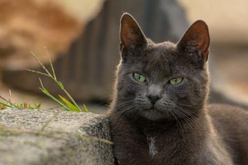 Porträt einer Katze der Rasse Russisch Blau