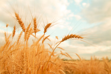 Wheat field with Ears of golden wheat. Rural Scenery under Shining Sunlight. Background of ripening ears of wheat field. Rich harvest Concept. Fotoväggar