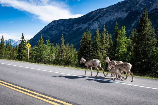 Bighorn Sheep (Ovis canadensis) next to the road in the Canadian Rockies, Banff National Park, Alberta, Canada