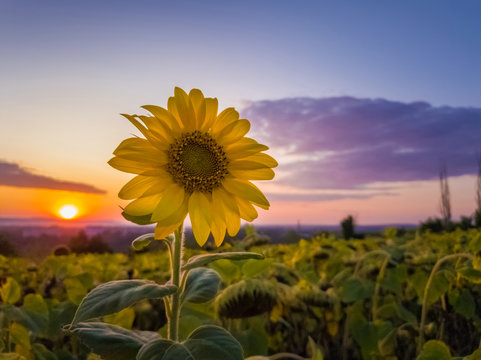 Sunflower harvest field over sunset sky background. Single late flowering plant among the crop of sunflower in a golden autumn evening at farm.