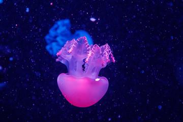 macro of a beautiful jellyfish catostylus mosaicus