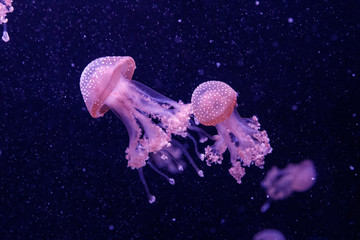 macro of a beautiful jellyfish phyllorhiza punctata