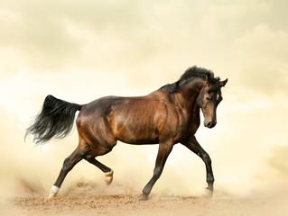 Bay saddle horse in a desert