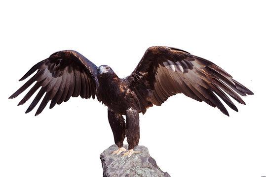 Majestic wedge-tailed eagle (Aquila audax) . The largest Australian eagle. Isolated on white Background