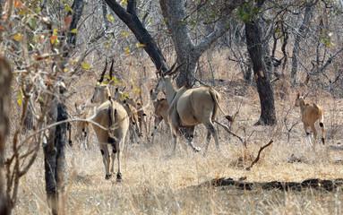 Herd of Eland running into thick bushland