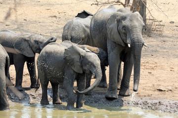 family group of elephants at waterhole