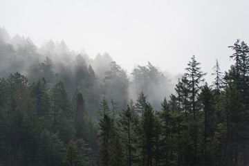 Foto op Aluminium Grijze traf. Foggy tree landscape of the Pacific Northwest, North America