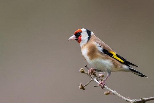 Goldfinch winter profile portrait