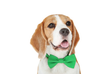 Beagle dog with green bow tie isolated on white background