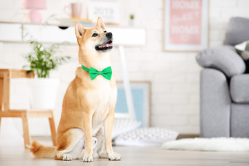 Shiba inu dog with green bow tie sitting on the floor at home