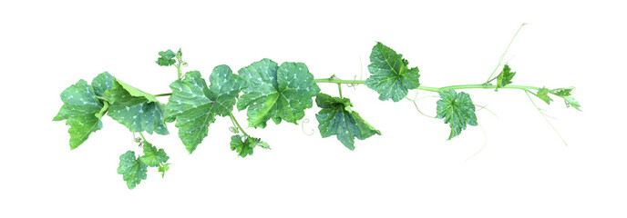 Pumpkin vine with green leaves and tendrils isolated on white background.