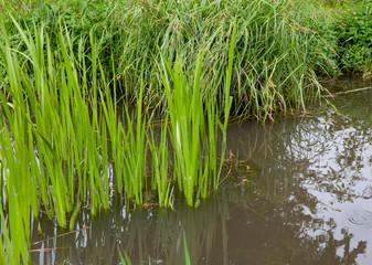 Trawy rosnące na jeziorze przy brzegu